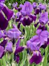 """<p>Irises, which come in many different forms and colors, have striking sword-like foliage and dramatic-looking flowers. They'll make a beautiful statement in the garden border. Plus, they multiply and come back year after year. Don't plant them too deep as their rhizomes need to be close to the surface (about 3 inches deep). Irises will thrive in full sun exposure.</p><p><a class=""""link rapid-noclick-resp"""" href=""""https://www.bluestoneperennials.com/IRPC"""" rel=""""nofollow noopener"""" target=""""_blank"""" data-ylk=""""slk:SHOP IRISES"""">SHOP IRISES</a></p>"""