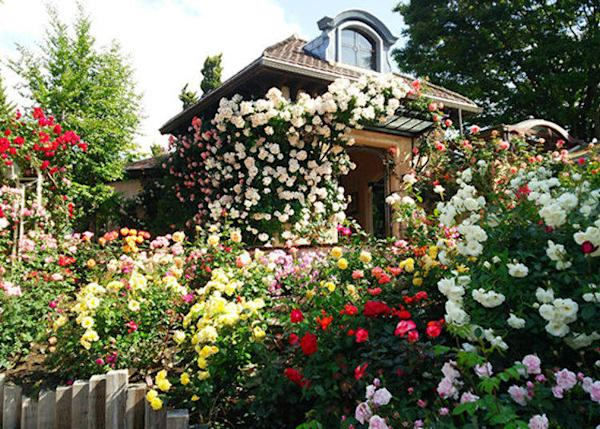 In mid-June, the garden transforms into a colorful ocean of roses.