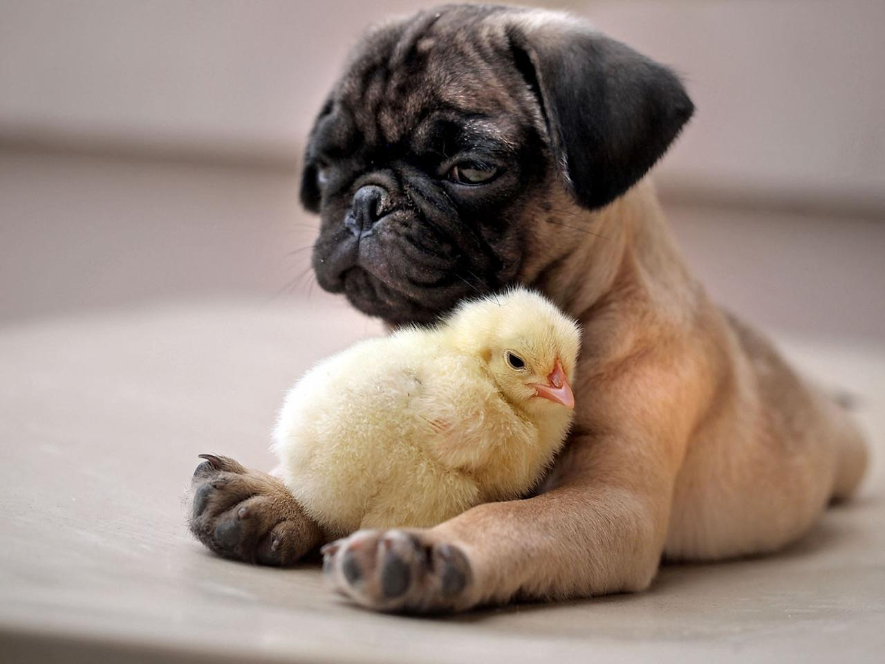 <p>Fugly the Pug & KFC the Chick. (Caters News) </p>