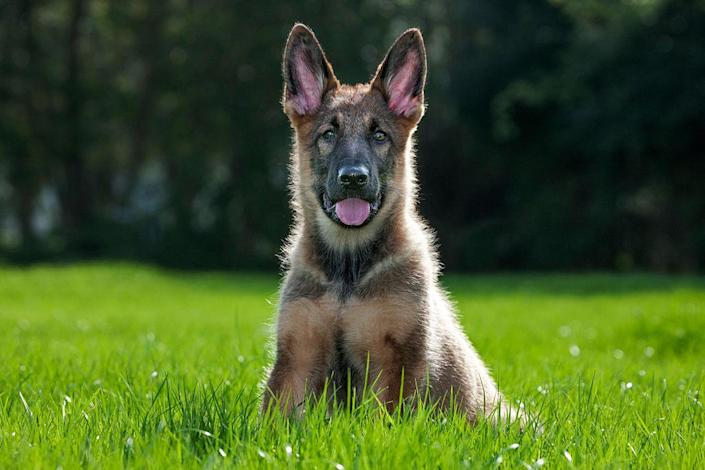 German shepherd dog (Canis lupus familiaris) pup sitting on lawn in garden