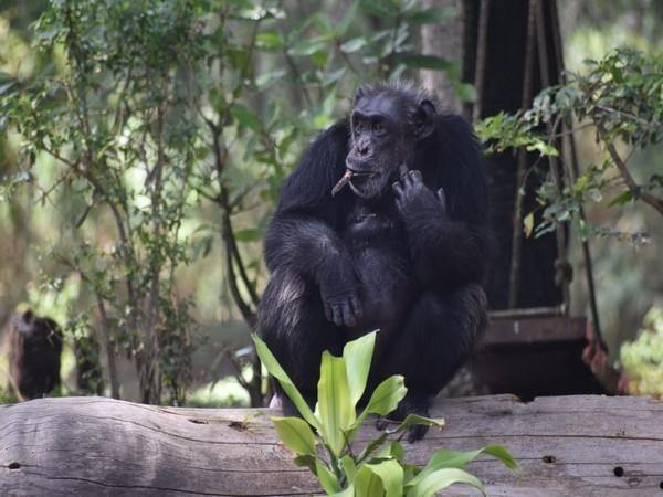 The news of the demise of a chimpanzee, born on July 15, 1986, left the zoo staff in shock.