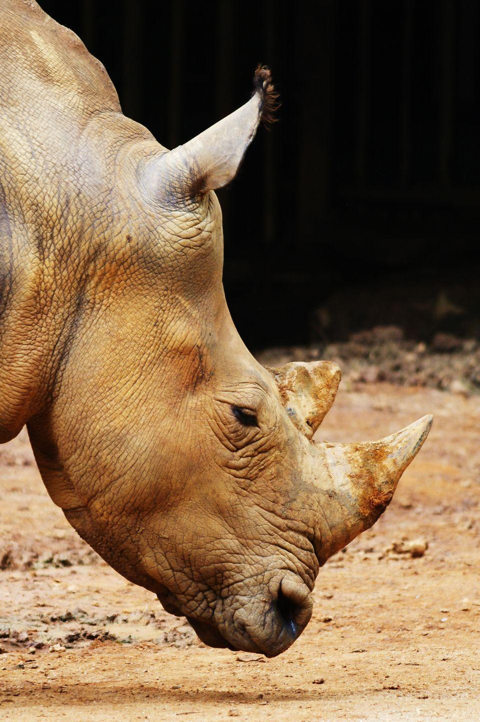 "<p><strong>Scientific classification: </strong><em>Dicerorhinus sumatrensis</em></p><p><strong>Location:</strong> Indonesia, Malaysia</p><p>There are five species of rhino left on Earth—and as mentioned, only one of them is faring well comparatively to the others. While not nearly as endangered as the Javan Rhino, the Sumatran Rhino exists in a few pockets across Indonesia, and there are maybe 100 left in the wild across one peninsula and two different islands. Because they are isolated into pockets, it may be <a href=""https://www.worldwildlife.org/species/sumatran-rhino"" rel=""nofollow noopener"" target=""_blank"" data-ylk=""slk:hard to find other rhinos to mate with"" class=""link rapid-noclick-resp"">hard to find other rhinos to mate with</a>.<br></p><p>There are two extant subspecies—the eastern and western. The eastern is the smallest known rhino and the most endangered, with only 15 surviving in the wild in Borneo. The subspecies was even once declared extinct in the wild until a juvenile female was found in 2016, giving some hope that populations, however small, continue to exist. There are plans to build a preserve for them at the Kelian Protected Forest, but with so few left, every rhino counts.</p>"