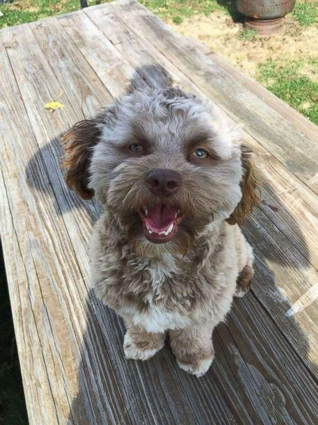 PHOTO: Yogi, a one-year-old shih poo, has become a viral internet sensation for his human-like features. (Chantal Desjardins)