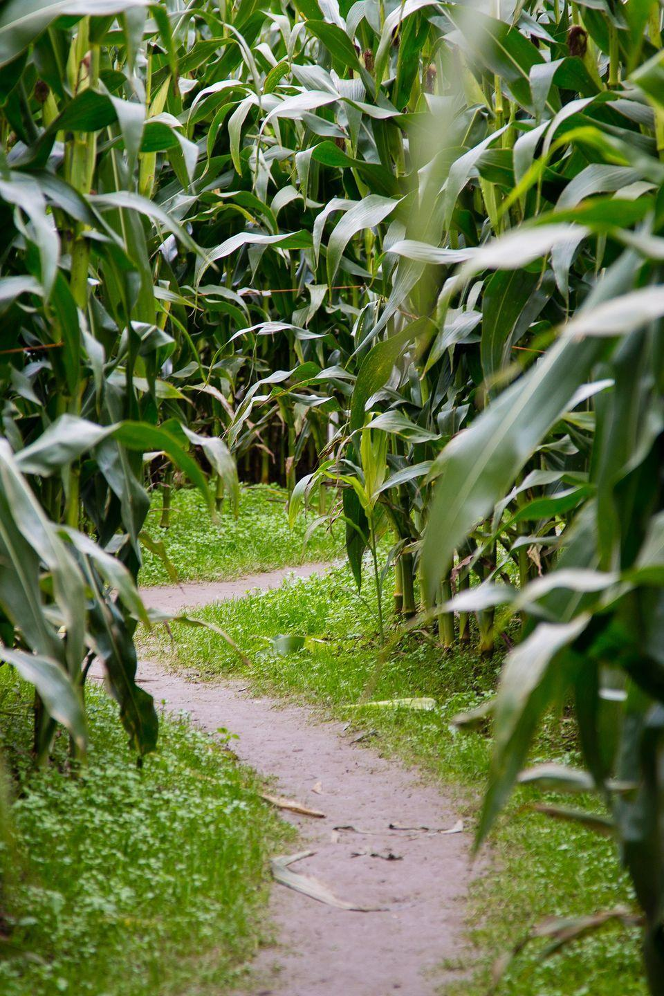 """<p>You better fuel up on snacks and fall treats from the Aurora Maze country store or The Feed Wagon before you make your way through <a href=""""https://auroramaize.com/"""" rel=""""nofollow noopener"""" target=""""_blank"""" data-ylk=""""slk:the seven-acre corn maze"""" class=""""link rapid-noclick-resp"""">the seven-acre corn maze</a> where most visitors spend around 45 minutes trying to find their way out. Once you've completed the challenge, treat yourself to more fall fun with a hayride, s'mores making around the campfire, or a visit to see the many farm animals on site.</p><p><a class=""""link rapid-noclick-resp"""" href=""""https://go.redirectingat.com?id=74968X1596630&url=https%3A%2F%2Fwww.tripadvisor.com%2FTourism-g44999-Verona_Missouri-Vacations.html&sref=https%3A%2F%2Fwww.countryliving.com%2Flife%2Ftravel%2Fg22717241%2Fcorn-maze-near-me%2F"""" rel=""""nofollow noopener"""" target=""""_blank"""" data-ylk=""""slk:PLAN YOUR TRIP"""">PLAN YOUR TRIP</a></p>"""