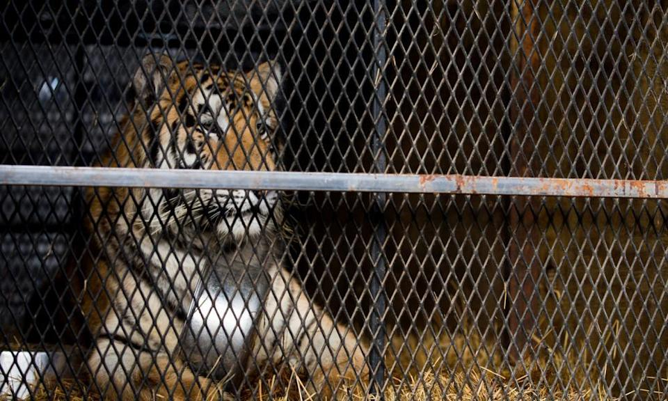 A tiger that was found in a Southeast Houston residence awaits transport to a rescue facility.