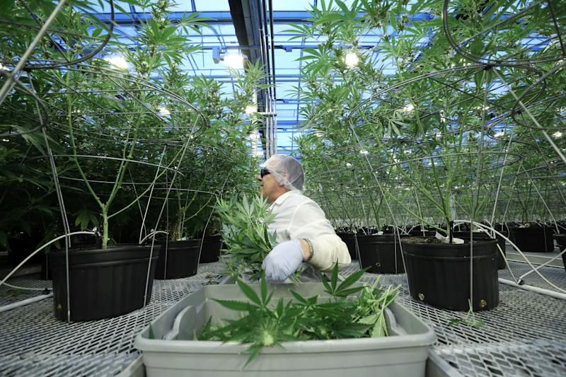 An employee collects cuttings from cannabis plants at Hexo Corp's facilities in Gatineau, Quebec, Canada, September 26, 2018. REUTERS/Chris Wattie