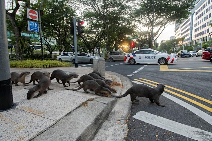 Pack of otters crossing a street intersection in Singapore