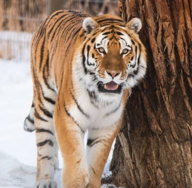 Seven-year-old Amur tiger, Youri, has so far not mated naturally with his female counterpart at the Calgary Zoo.