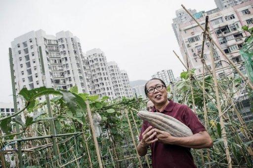 Osbert Lam, the owner of City Farm, holds a pumpkin he just harvested at his organic farm on the rooftop of a tower block in Hong Kong. It is one of several such sites that have sprung up in Hong Kong's concrete jungle, as the appetite for organic produce grows and people seek ways to escape one of the most densely populated places on earth