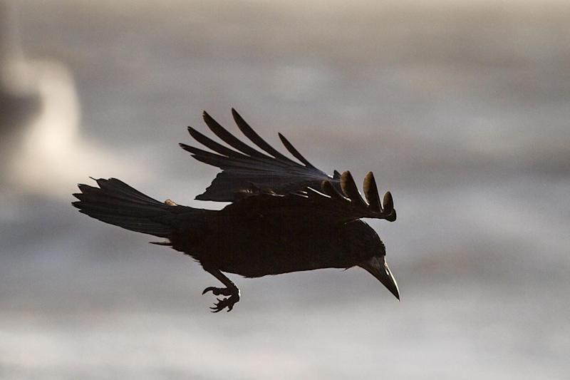 A file photo of a captive Caledonian crow: PA