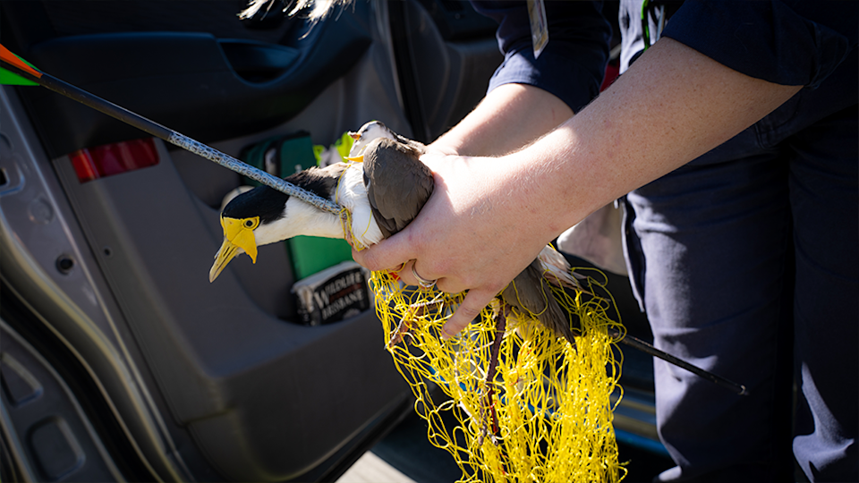 An RSPCA rescuer holds the injured plover with an arrow through its chest. The yellow net can be seen hanging from its body.