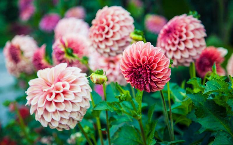 Pink dahlias are one of the best plants to grow in your garden in autumn - Getty Images Contributor