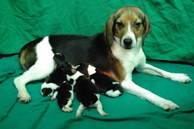 A genetically modified dog Tagon and her puppies are seen at Seoul National University (SNU)'s College of Veterinary Medicine in Seoul. South Korean scientists said on Wednesday, they have created a glowing dog using a cloning technique that could help find cures for human diseases such as Alzheimer's and Parkinson's, Yonhap news agency reported. A SNU research team said the genetically modified female beagle, named Tegon and born in 2009, has been found to glow fluorescent green under ultraviolet light if given a doxycycline antibiotic, the report said. The researchers, who completed a two-year test, said the ability to glow can be turned on or off by adding a drug to the dog's food. REUTERS/Seoul National University