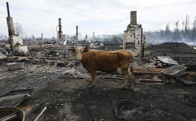 <p>A cow stands amidst the debris of burnt houses after recent wildfires in the Siberian settlement of Strelka, located on the bank of the Angara River in Krasnoyarsk region, Russia, May 25, 2017. (Photo: Ilya Naymushin/Reuters) </p>