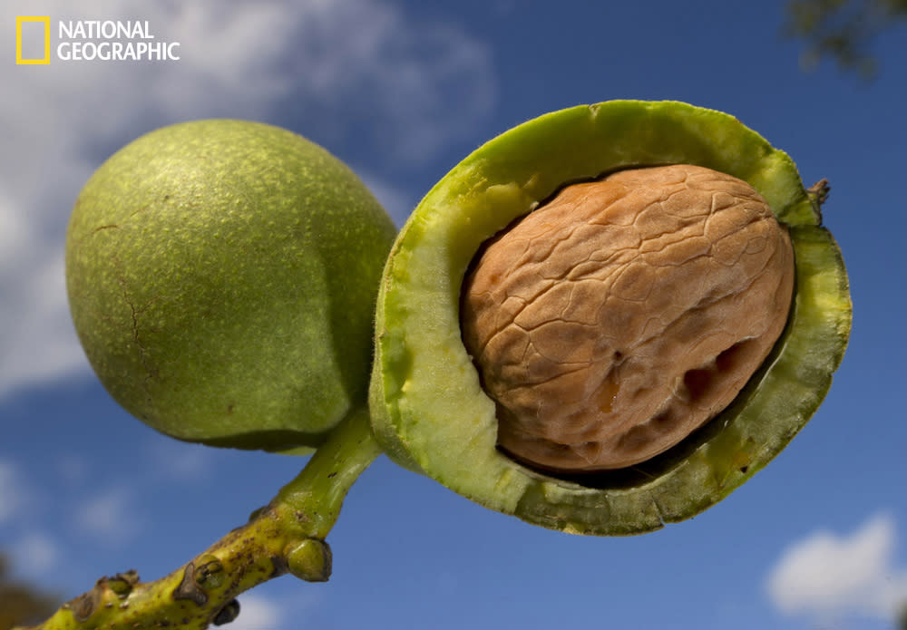 Walnut on a farm in Oregon.  (Photograph courtesy Robin Loznak/National Geographic Your Shot)