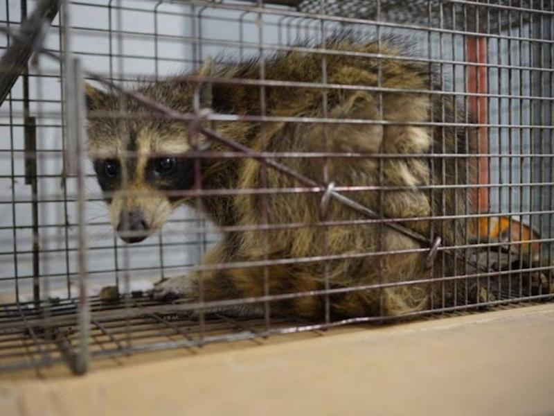 The raccoon that scaled the UBS Plaza was caught in a live trap baited with cat food overnight in St Paul, Minnesota (Evan Frost/Minnesota Public Radio via AP)