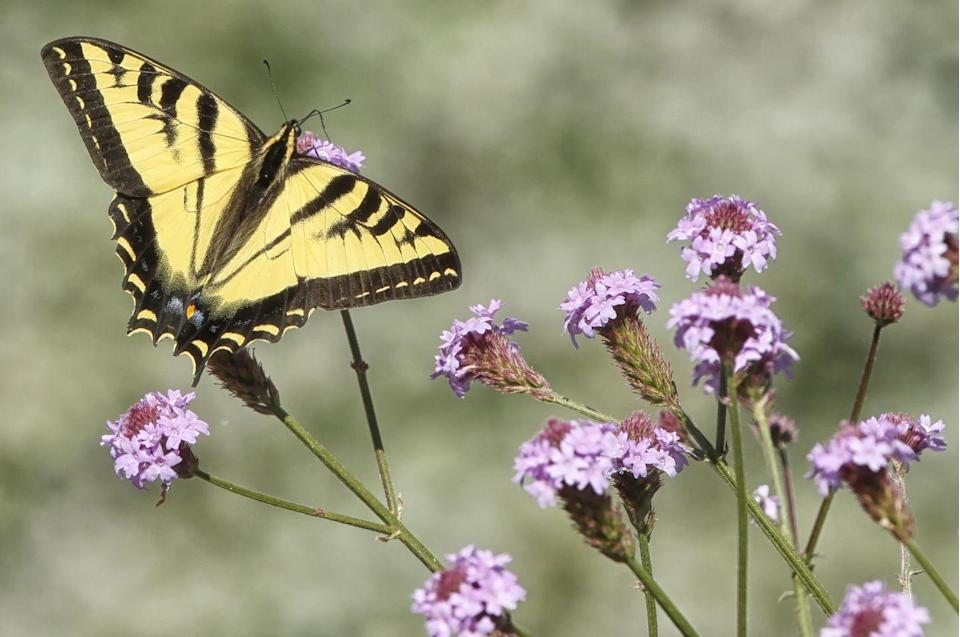 <p><strong>Eastern Tiger Swallowtail<br></strong><br>Virginia's state insect is known for its distinctive tiger stripes. </p>