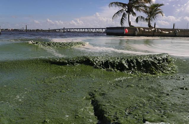 <p>Water filled with algae is seen along the St. Lucie River in Stuart, Fla., July 11, 2016. (Photo: Joe Raedle/Getty Images) </p>