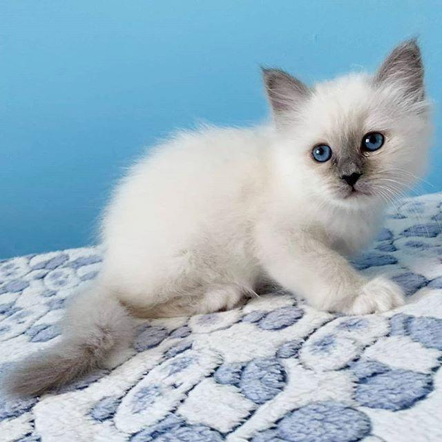 """<p>Another blue-eyed beauty! You'll never get sick of those piercing baby blues and soft, silky coat. While the tail, ears, and face of Birmans usually develop a dark brown hue, their paws are white as socks—and are often referred to as their """"gloves,"""" aww.</p><p><a href=""""https://www.instagram.com/p/B_SUBCrlqbG/?utm_source=ig_web_button_share_sheet"""" rel=""""nofollow noopener"""" target=""""_blank"""" data-ylk=""""slk:See the original post on Instagram"""" class=""""link rapid-noclick-resp"""">See the original post on Instagram</a></p>"""
