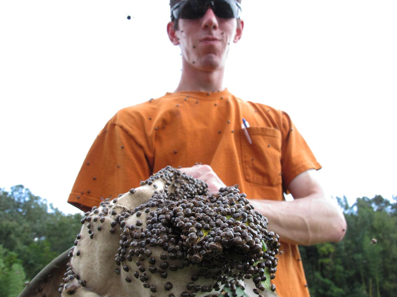 """In this Sept. 30, 2011 photo, Clemson University doctoral student Nick Seiter shows a sweep net filled with """"kudzu bugs"""" caught in a test plot in Blackville, S.C. Seiter is studying the invasive Asian bug, which is wreaking havoc on soybean crops. (AP Photo/Allen Breed)"""
