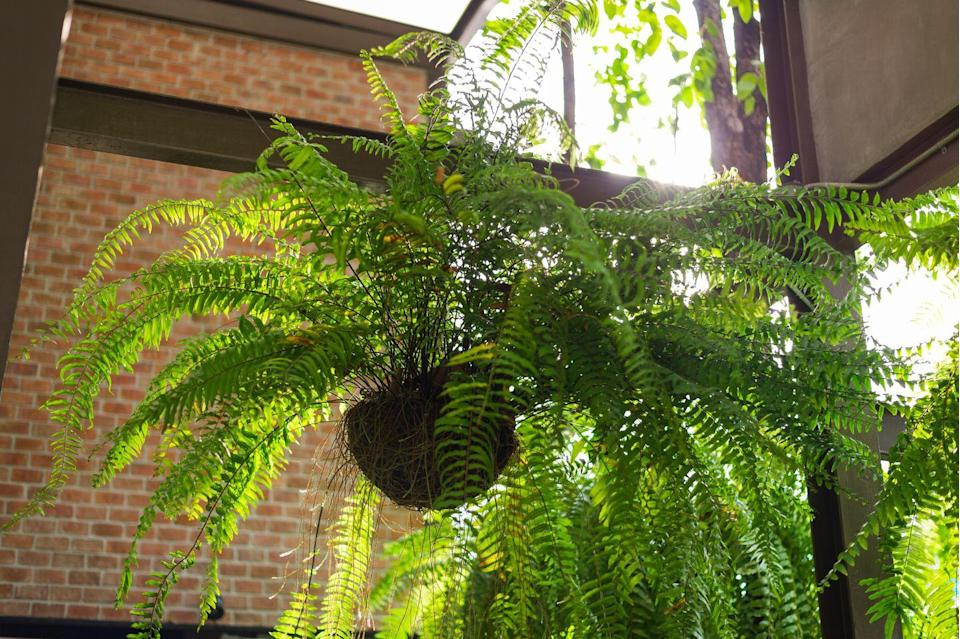 """<p>These inexpensive ferns are a classic houseplant, but let's make one thing clear: They require tons of TLC. Boston Ferns need constant light moisture and high humidity levels, which you can accomplish by sticking them on top of a tray filled with pebbles and water. They also shed regularly, so keep your broom handy. </p><p><a class=""""link rapid-noclick-resp"""" href=""""https://go.redirectingat.com?id=74968X1596630&url=https%3A%2F%2Fwww.homedepot.com%2Fp%2FPure-Beauty-Farms-Boston-Fern-Plant-in-8-in-Hanging-Basket-DC8HBFERN%2F312286366&sref=https%3A%2F%2Fwww.goodhousekeeping.com%2Fhome%2Fgardening%2Fg32440507%2Fbest-indoor-hanging-plants%2F"""" rel=""""nofollow noopener"""" target=""""_blank"""" data-ylk=""""slk:SHOP BOSTON FERN"""">SHOP BOSTON FERN</a></p>"""