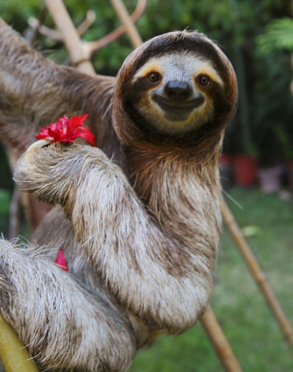"""<p>They love to eat, and much like a cow they have a stomach with four separate chambers. But because everything with a sloth is slow, <a href=""""https://kids.nationalgeographic.com/explore/5-reasons-why-hub/5-reasons-sloths-are-spectacular/"""" rel=""""nofollow noopener"""" target=""""_blank"""" data-ylk=""""slk:it can take a sloth ten times longer to digest their food than a cow"""" class=""""link rapid-noclick-resp"""">it can take a sloth ten times longer to digest their food than a cow</a>, according to National Geographic. A full belly can make up 20 to 30 percent of its body weight, but their slow digestive system means it could take close to a month to process one meal.<br></p>"""