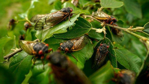 PHOTO: Adult cicadas cover a plant, May 17, 2021, at Woodend Sanctuary and Mansion, in Chevy Chase, Md.  (Carolyn Kaster/AP, FILE)