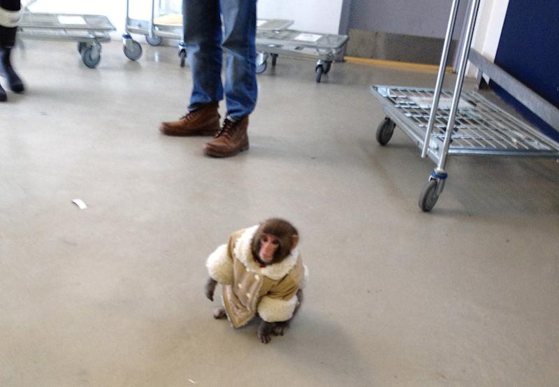 In this Sunday, Dec. 9, 2012 photo provided by Bronwyn Page, a small monkey wearing a winter coat and a diaper wanders around at an IKEA in Toronto. The monkey let itself out of its crate in a parked car and went for a walk. The animal's owner contacted police later in the day and was reunited with their pet, police said. (AP Photo/Bronwyn Page via The Canadian Press)