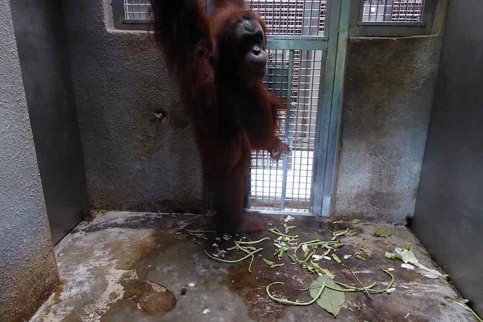 The zoo's vet director says primates have to be kept in the night dens to prevent the animals from fighting each other. — Picture courtesy of Friends of the Orangutans