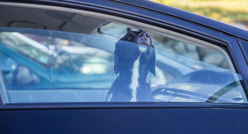 Australian drivers can be penalised for leaving their car window open too much. Pictured is a parked car with the window partially down as a dog peers out.