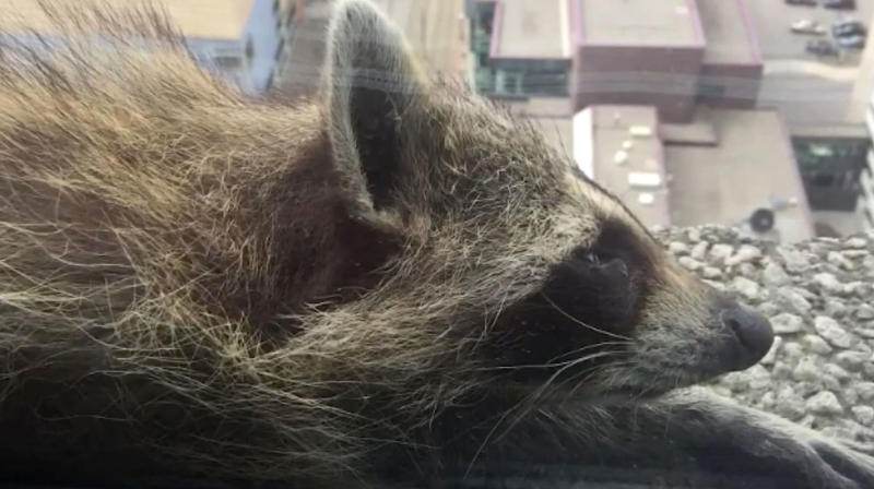 High-Climbing Raccoon Finally Reaches Top Of St. Paul Skyscraper And America Exhales