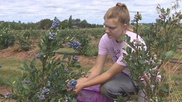 Karyss MacDonald is going into Grade 12 and says she is enjoying picking blueberries at Lorne Valley Ranch.   (Al MacCormick/CBC - image credit)