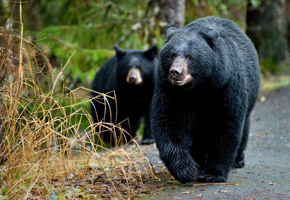 In this Oct. 22, 2014, file photo, a black bear sow and her cub walk along the Trail of Time at the Mendenhall Glacier Visitor Center in Juneau, Alaska.