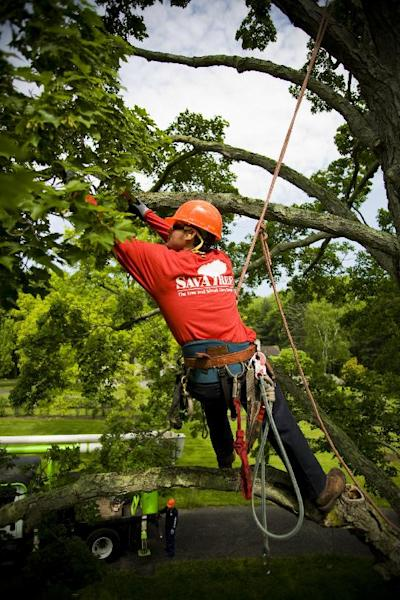 This undated publicity photo provided by SavATree shows tree pruning, which improves trees' overall health and structure. Pruning, along with an arborist using a resistograph to check for tree decay, is used to determine a tree's stability. (AP Photo/SavATree)