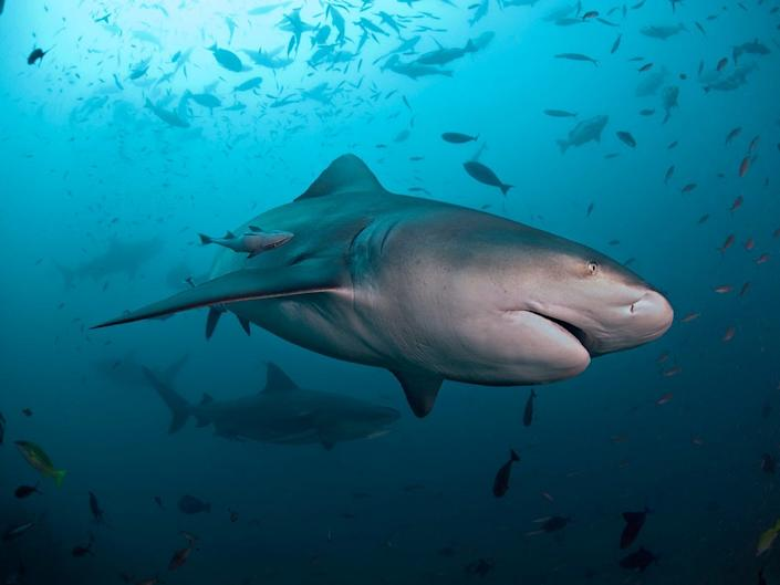 """Witnesses said the bull shark appeared to be 8 to 10 feet long. <p class=""""copyright"""">Alastair Pollock Photography/Getty</p>"""