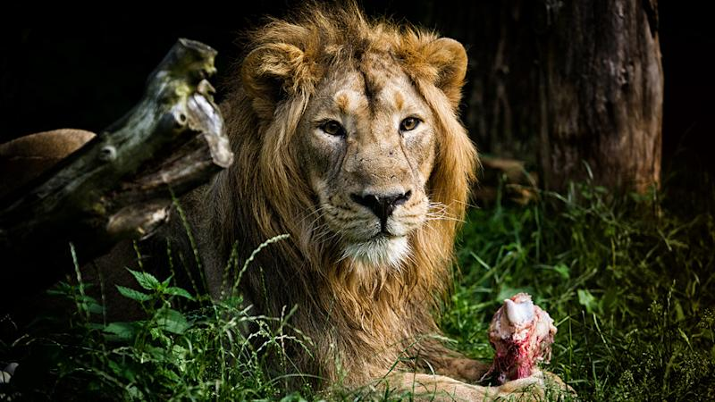 New bans for Aussie hunters heading to lion safaris overseas