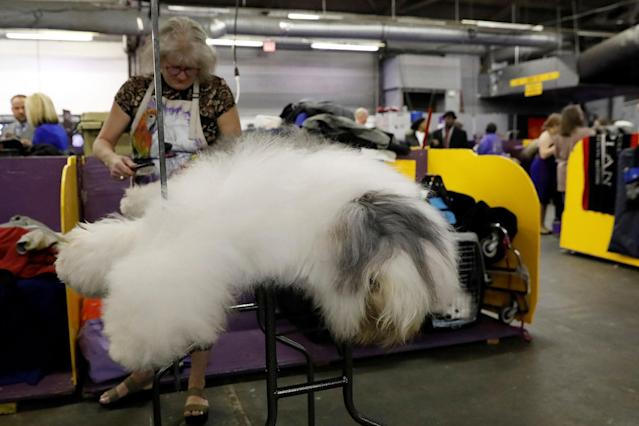<p>Rembrandt, an old English sheepdog breed, is groomed in the benching area on Day One of competition at the Westminster Kennel Club 142nd Annual Dog Show in New York, Feb.12, 2018. (Photo: Shannon Stapleton/Reuters) </p>