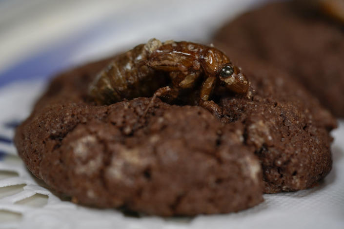 A cicada nymph tops a sweet, chocolatey, chewy cookie, at the home of University of Maryland entomologists Michael Raupp and Paula Shrewsbury in Columbia, Md. on May 17, 2021. The cookie is meant to depict a cicada nymph emerging from the dirt. (AP Photo/Carolyn Kaster)
