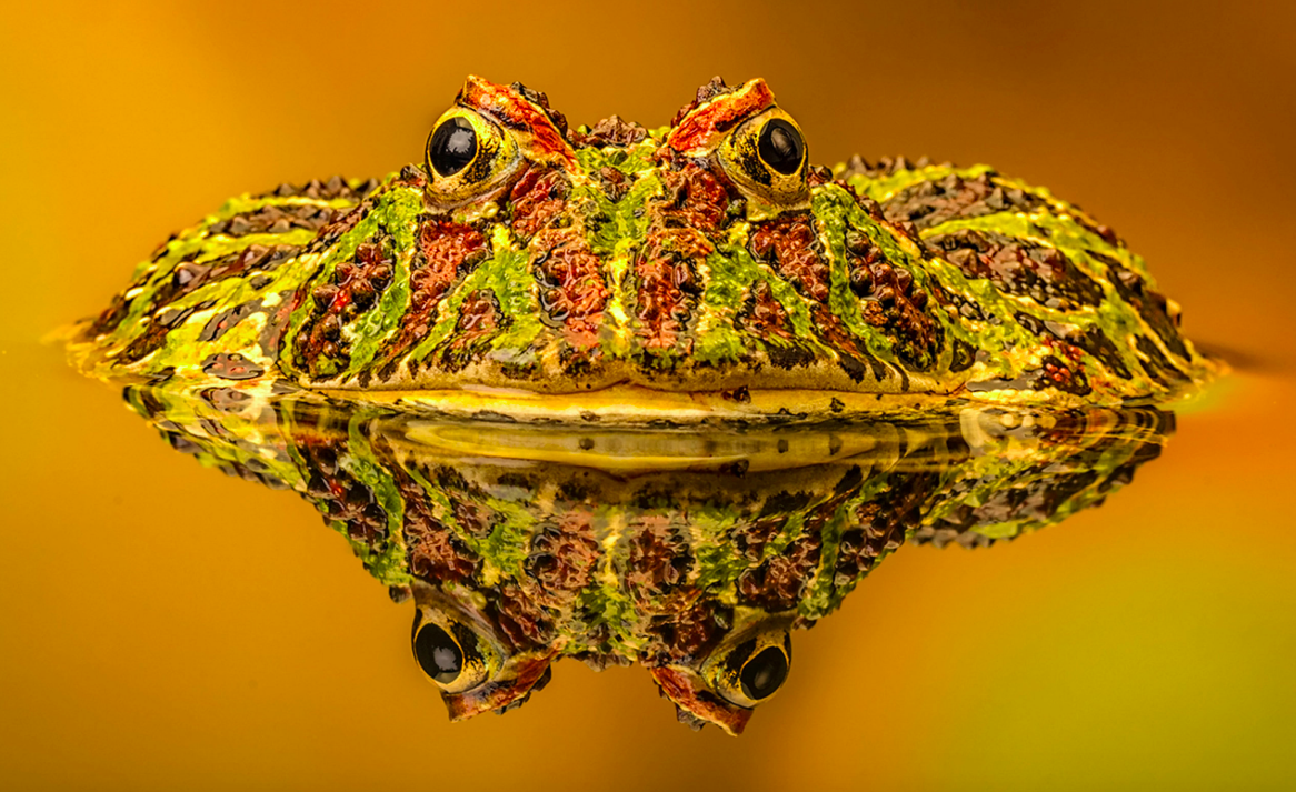 <p>Michelle Howell won the competition with this Argentinian Ornate Horned Frog shot. (Pic: Michelle Howell/SWNS) </p>