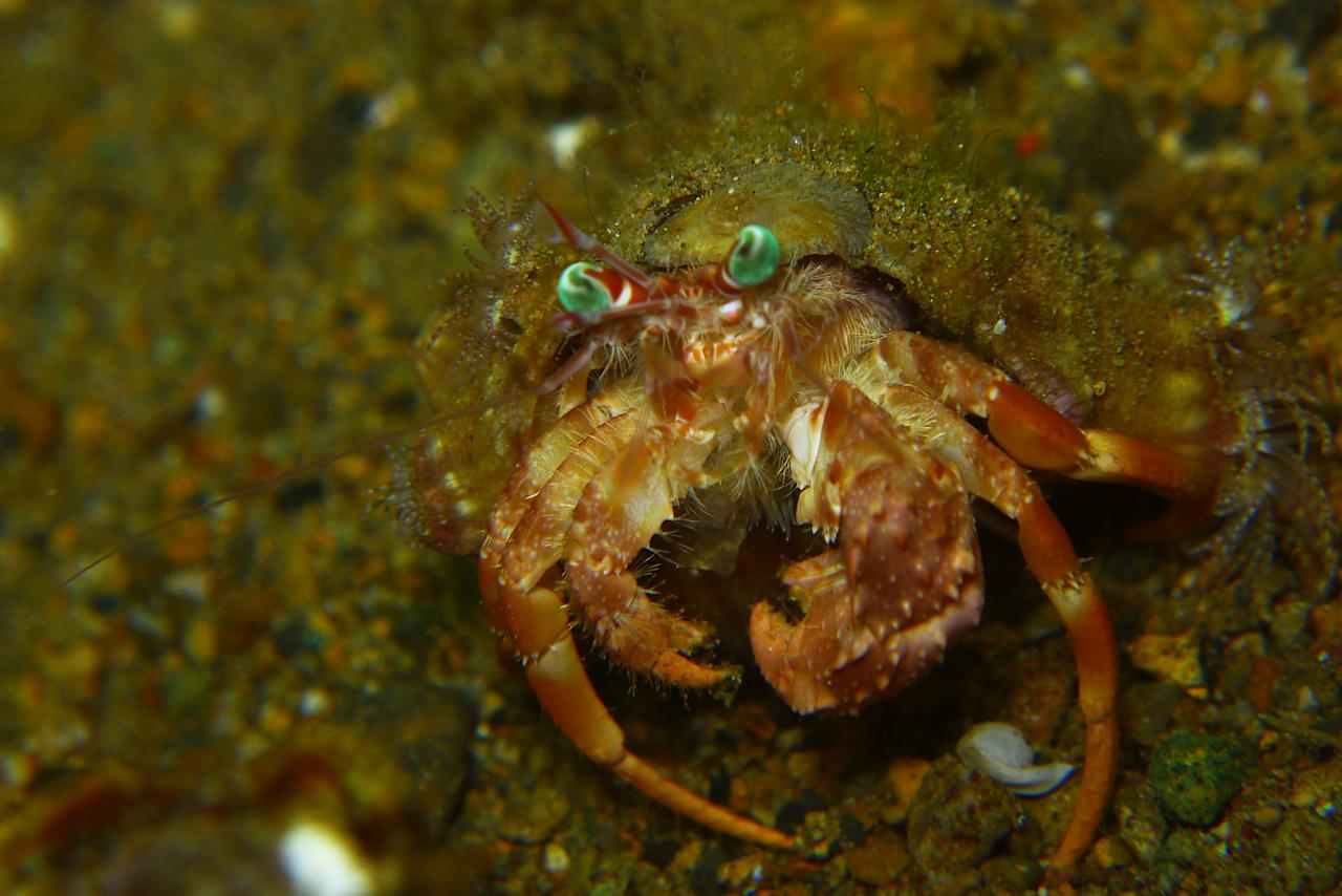 A Hermit Crab caries an empty shell on its body to protect its very vulnerable abdomen. The shell also protects the crab from predators, giving it a safe haven to retreat to when threatened. This picture was taken during night dive, which is the time Hermit Crabs go about looking for food.