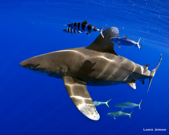 Whitetip sharks, once one of the most abundant apex predators on the planet, have become critically endangered in parts of the Atlantic ocean due to overfishing.