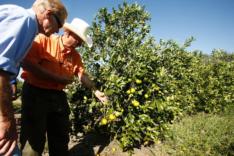 Grower group says Irma caused 50 to 70 percent citrus loss in portions of South Florida