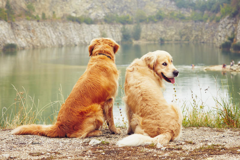 Water for swimming. Two golden retriever dogs in old stone quarry.
