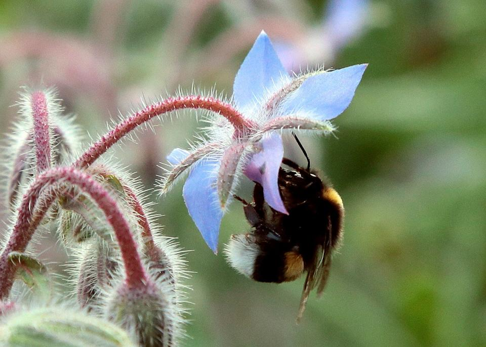 A bumblebee gathers pollen on a flower on July 13, 2013 in the suburbs of Paris. (JACQUES DEMARTHON/AFP/Getty Images)