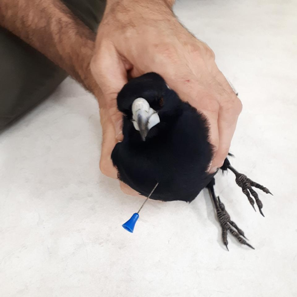 The magpie was found in suburban Perth and taken to the vet by a couple. Source: Facebook/RSPCA WA