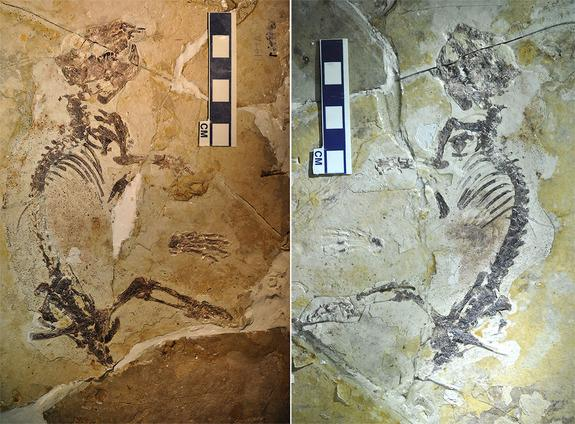 The fossil of Rugosodon eurasiaticus is preserved in two shale slabs in part (left) and counterpart (right). It is about 6.5 inches (17 cm) long from head to rump, and is estimated to have weighed about 2.8 ounces (80 grams).