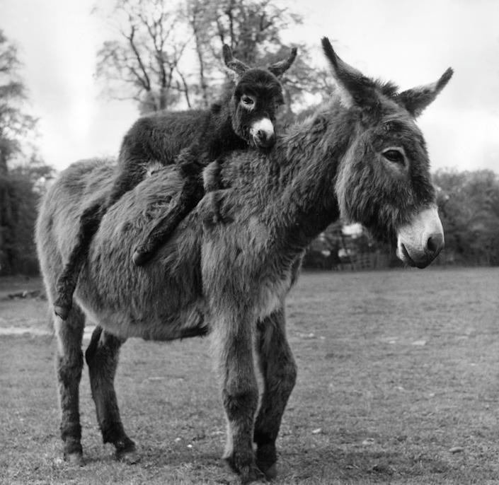 A mother donkey with her baby resting comfortably on her back.