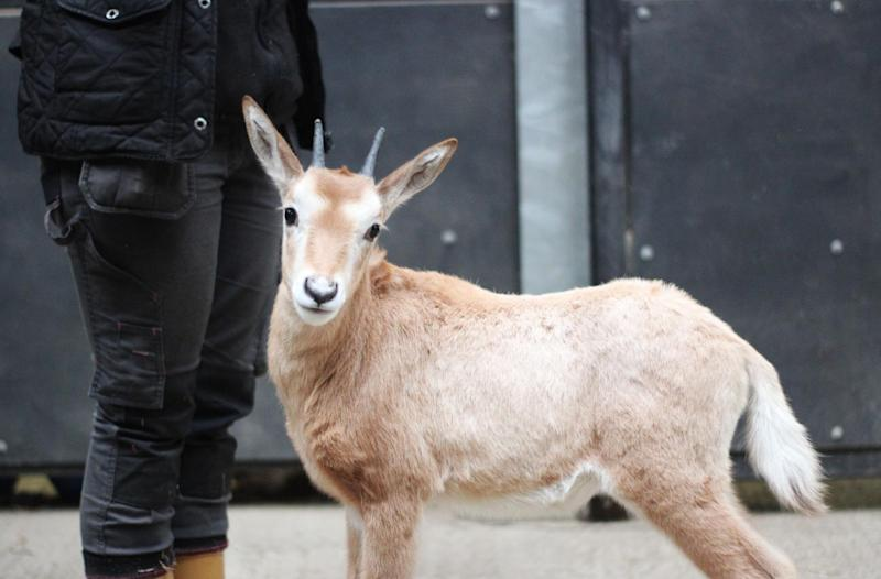 She was gradually introduced to Faye and her calf and the zoo say they have created a