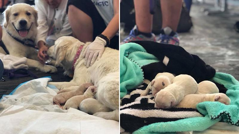 Service dog gives birth to puppies in Tampa International Airport