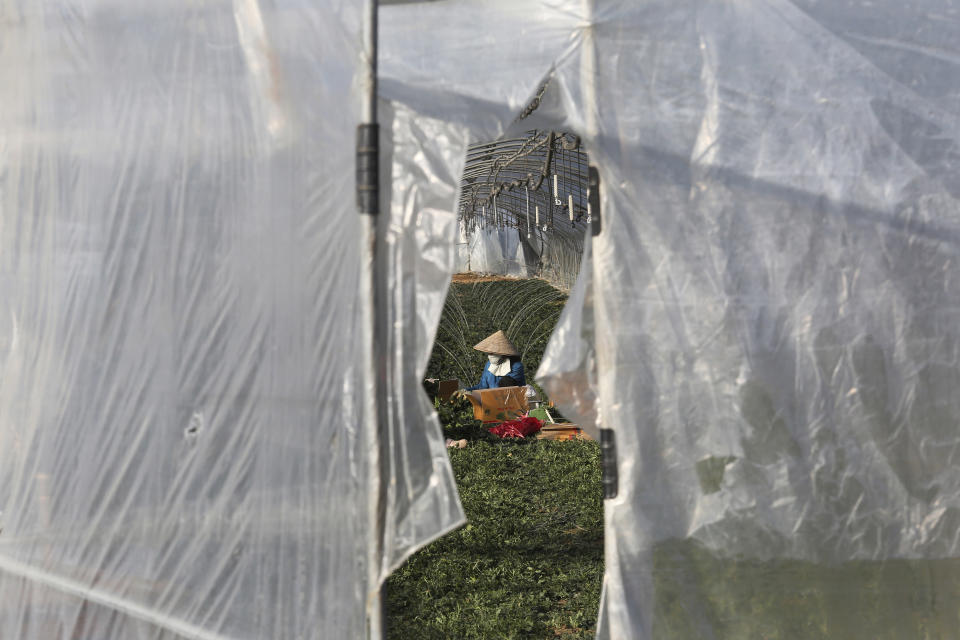 A migrant worker works inside a greenhouse at a farm in Pocheon, South Korea on Feb. 8, 2021. Activists and workers say migrant workers in Pocheon work 10 to 15 hours a day, with only two Saturdays off per month. They earn around $1,300-1,600 per month, well below the legal minimum wage their contracts are supposed to ensure. (AP Photo/Ahn Young-joon)